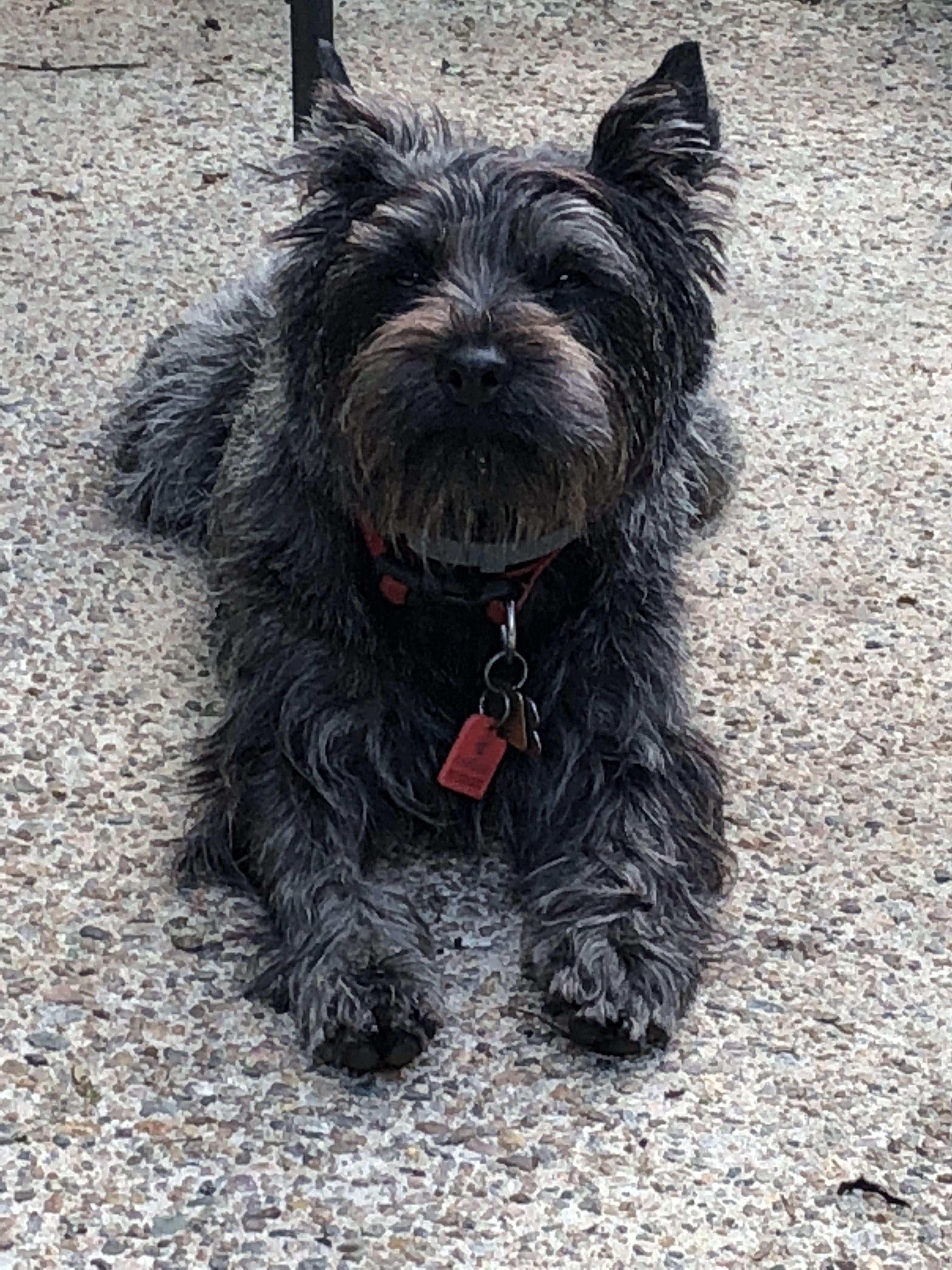 My Name Is Sir Duncan Terrier Cairn Terrier Puppies