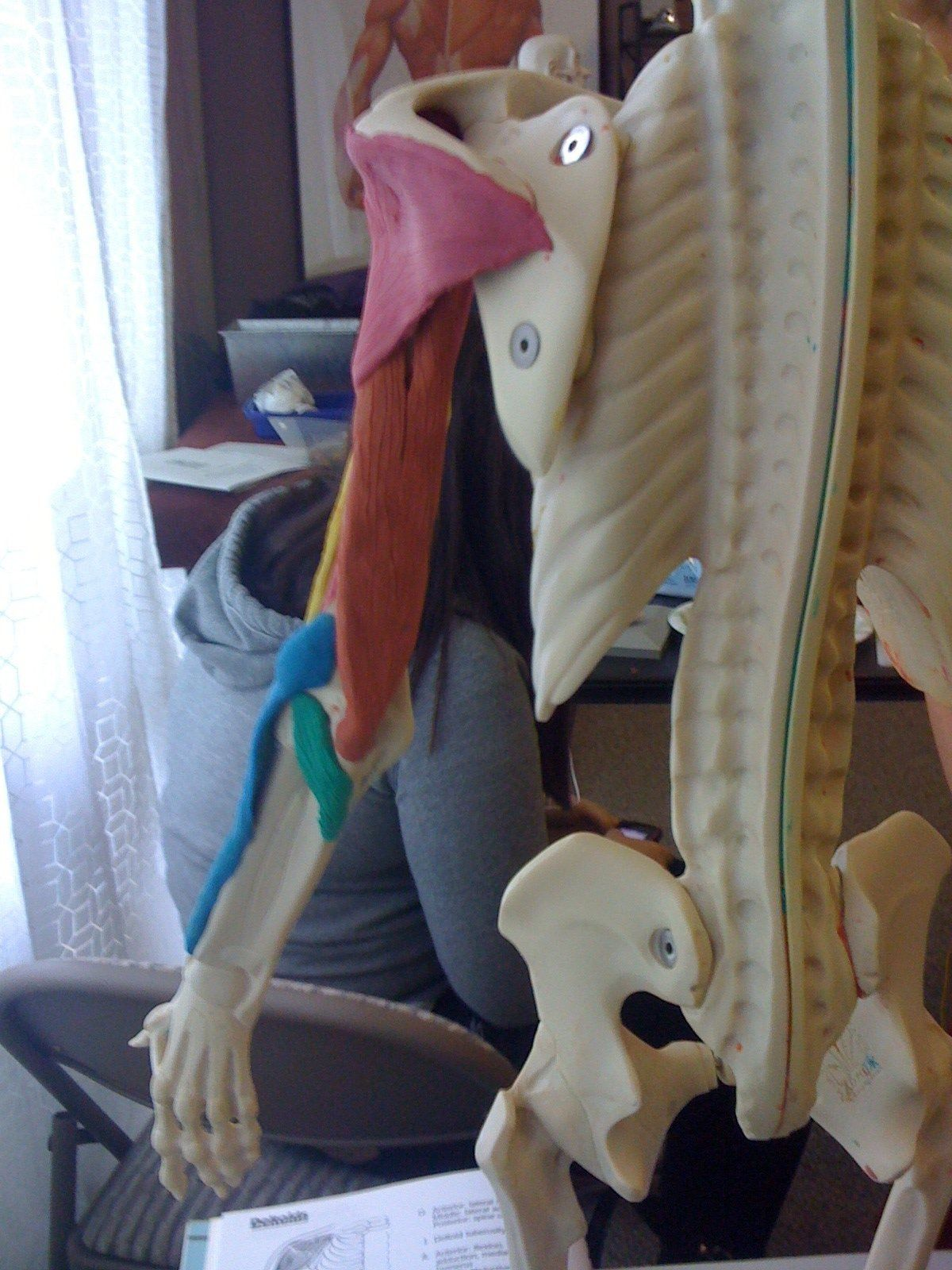 Posterior upper arm. Maniken Anatomy class. Best way ever to learn ...
