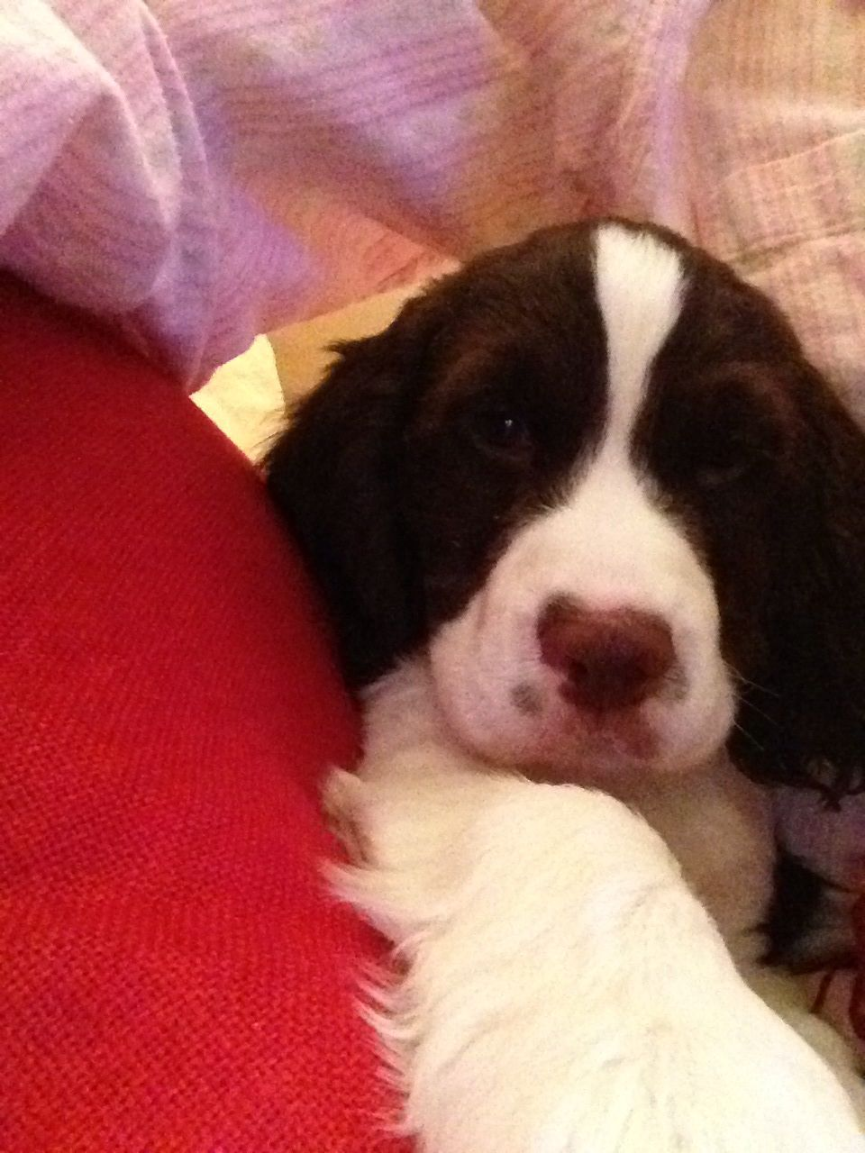 Rocky Is 10 Weeks Old Chilling With Dad English Springer Spaniel Springer Spaniel Spaniel