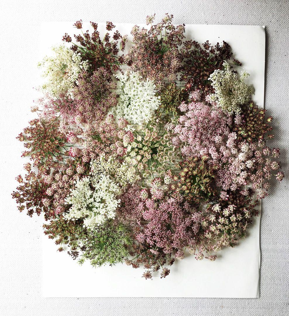 Ornamental Carrot Purple Kisses Flowers O to R Alpha