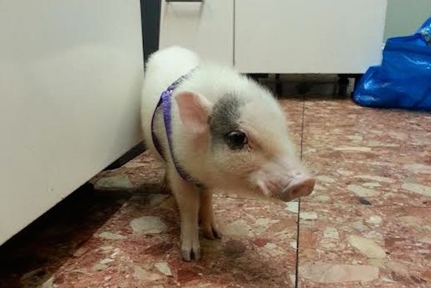 Piggy Smalls, our mascot! Follow him on instagram @piggysmallsnyc