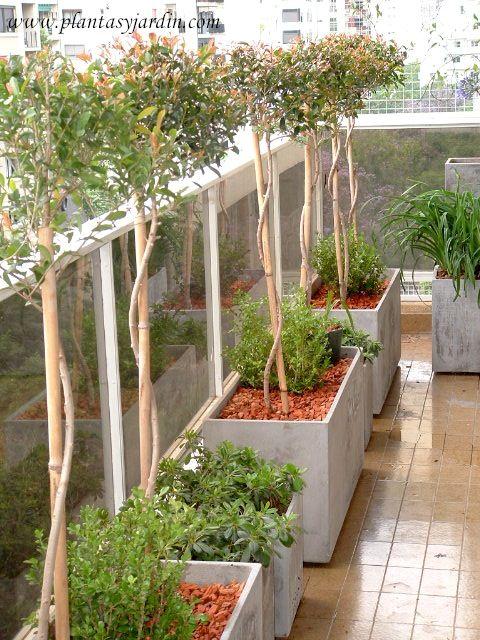 Eugenia myrtifolia grandiflora eugenia plantas jard n for El jardin de eugenia