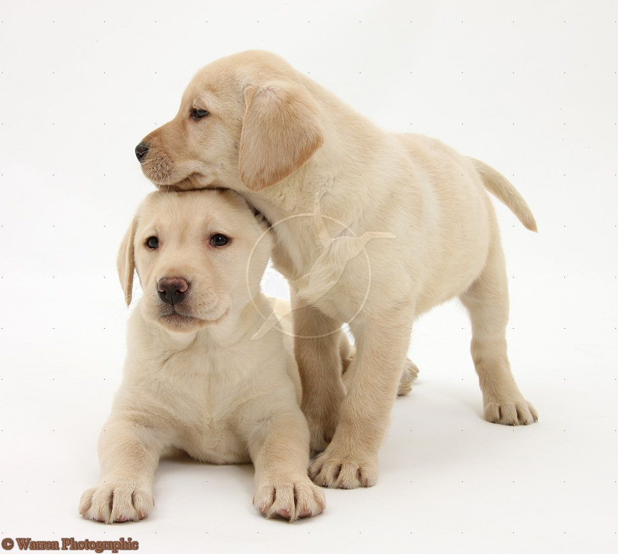 Dogs Are Man S Best Friend And They Have A Level Intelligence That Is Enough For Them To Be Labrador Retriever Rescue Labrador Retriever Labrador Retriever Dog