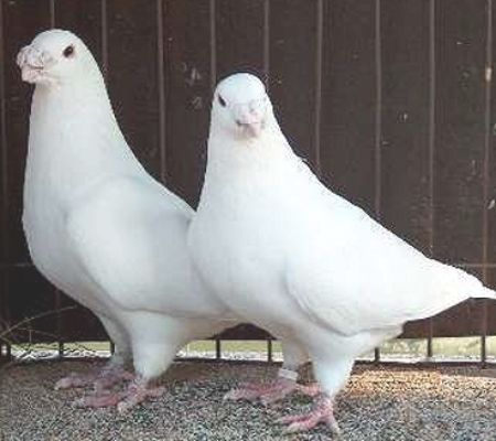 American Show Racers (White)   PIGEONS and such   Pigeon breeds