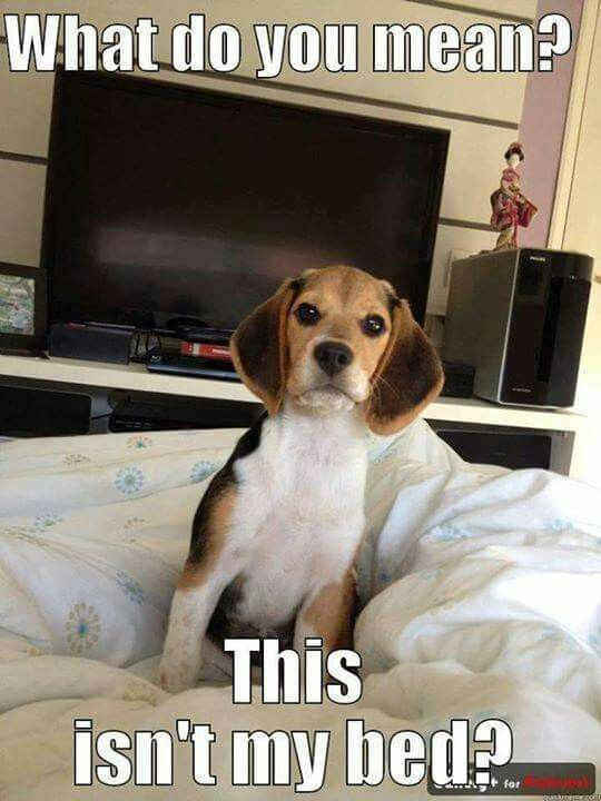 Why Baby Shouldn T Walk With A Dog Charlie The Dog Cute Beagles