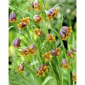Fritillaria Uva Vulpis Has 1 To 3 Small Bell Shaped Flowers On Each Stem It Is Also Called Fox S Grape A Dark Brown Exterior With