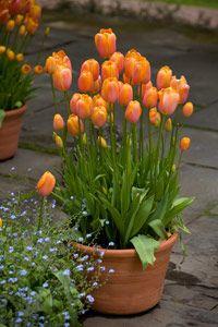 wenn man tulpen in ein gef pflanzt kann man die tulpenzwiebeln ruhig etwas enger pflanzen es. Black Bedroom Furniture Sets. Home Design Ideas