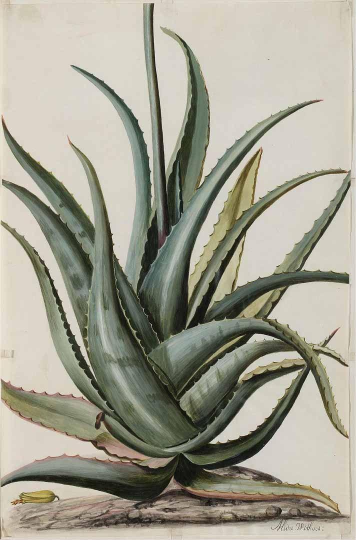 Common Aloe Aloe Vera Circa 1709 Tattoo 3 Dessin