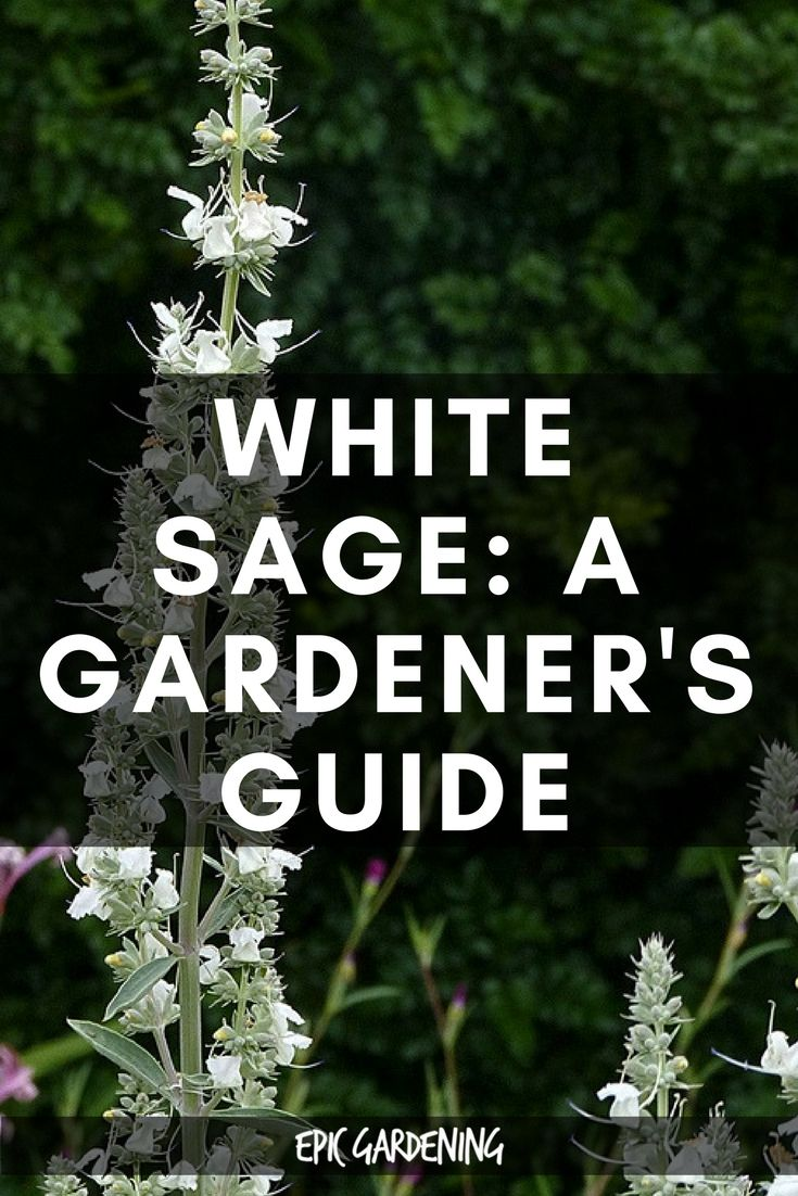 White Sage Traditional Uses And How To Grow It At Home Pinterest