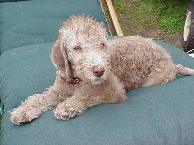 Dog Breeds That Start With 'B' Bedlington terrier puppy