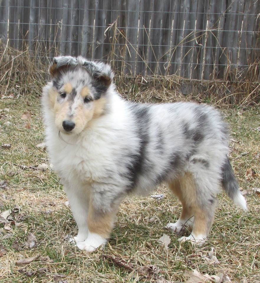 Pin By Christine Maree Clecak On Dogs Blue Merle Collie Shetland Sheepdog Rough Collie