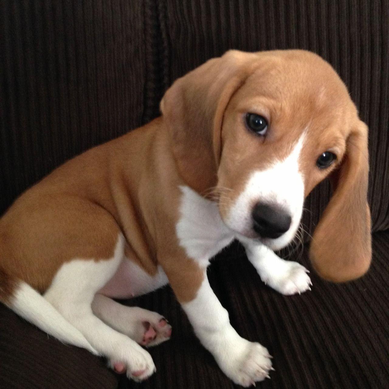 Beagle Pup Beagle Puppy Beagle Dog White Beagle