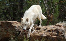 Photos for Media | Wild Spirit Wolf Sanctuary