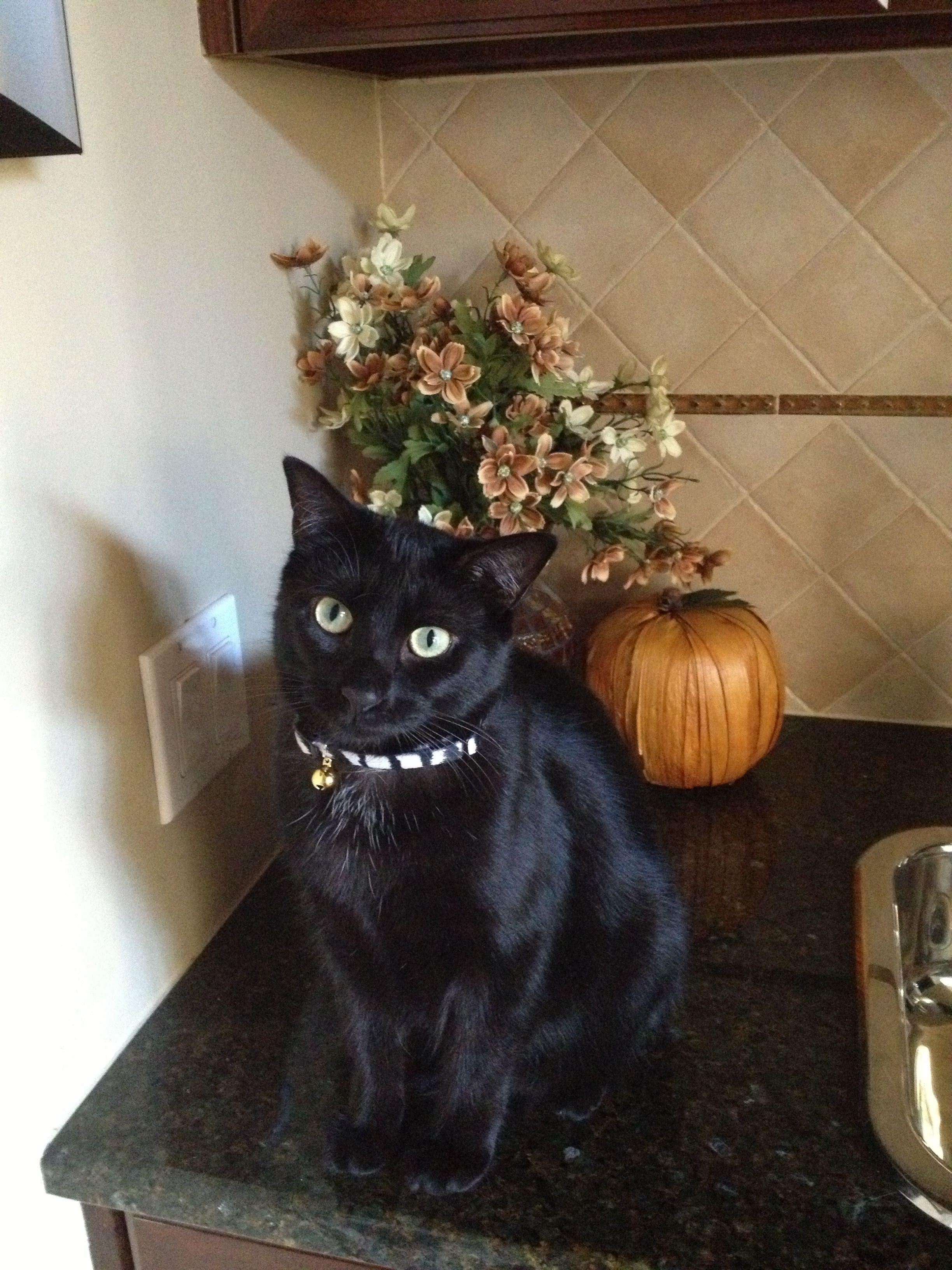 """Halloween girl! """"Annie"""" Cats, kittens, Cats, Halloween cat"""