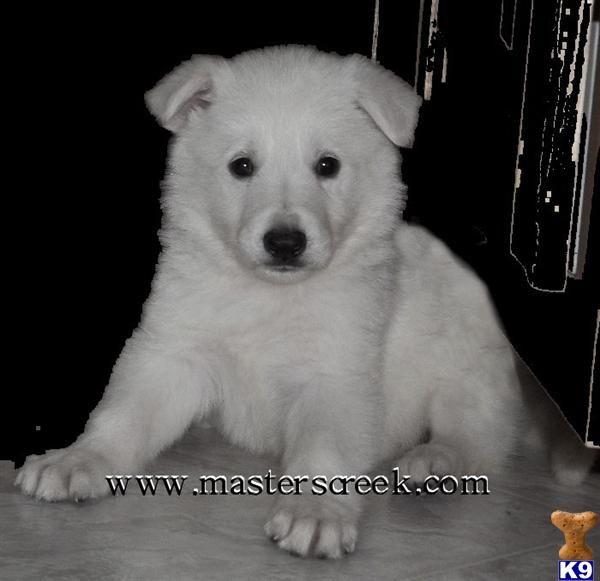 I Want This Snow White German Shepherd German Shepherd White