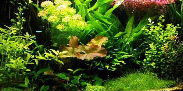 Good Dutch Aquascaping Style Focuses Primarily On The Growth And Arrangement Of  Aquatic Plants. It Is Not Designed To Mimic A Natural Setting.