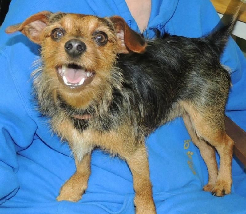 Meet Thor A Petfinder Adoptable Yorkshire Terrier Yorkie Dog