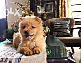 Chow Chow Puppy Chow Chow Puppy Puppies Animal Lover