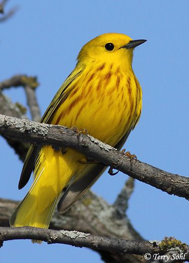 Yellow Warbler. Always nice to see :)