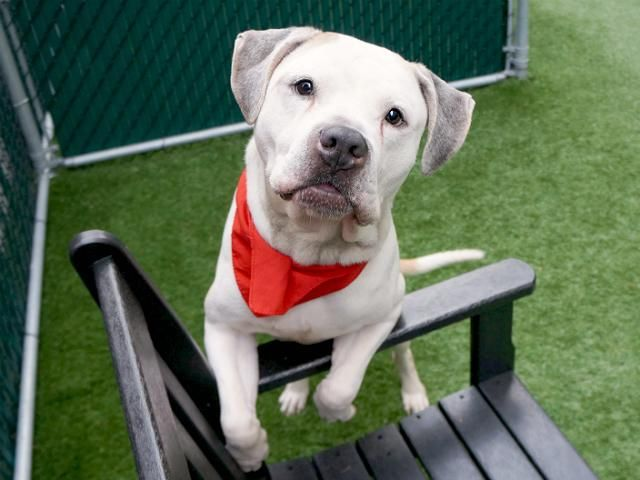 Gorgeous Lover Boy Justin A1111079 Needs A Home Adopt From