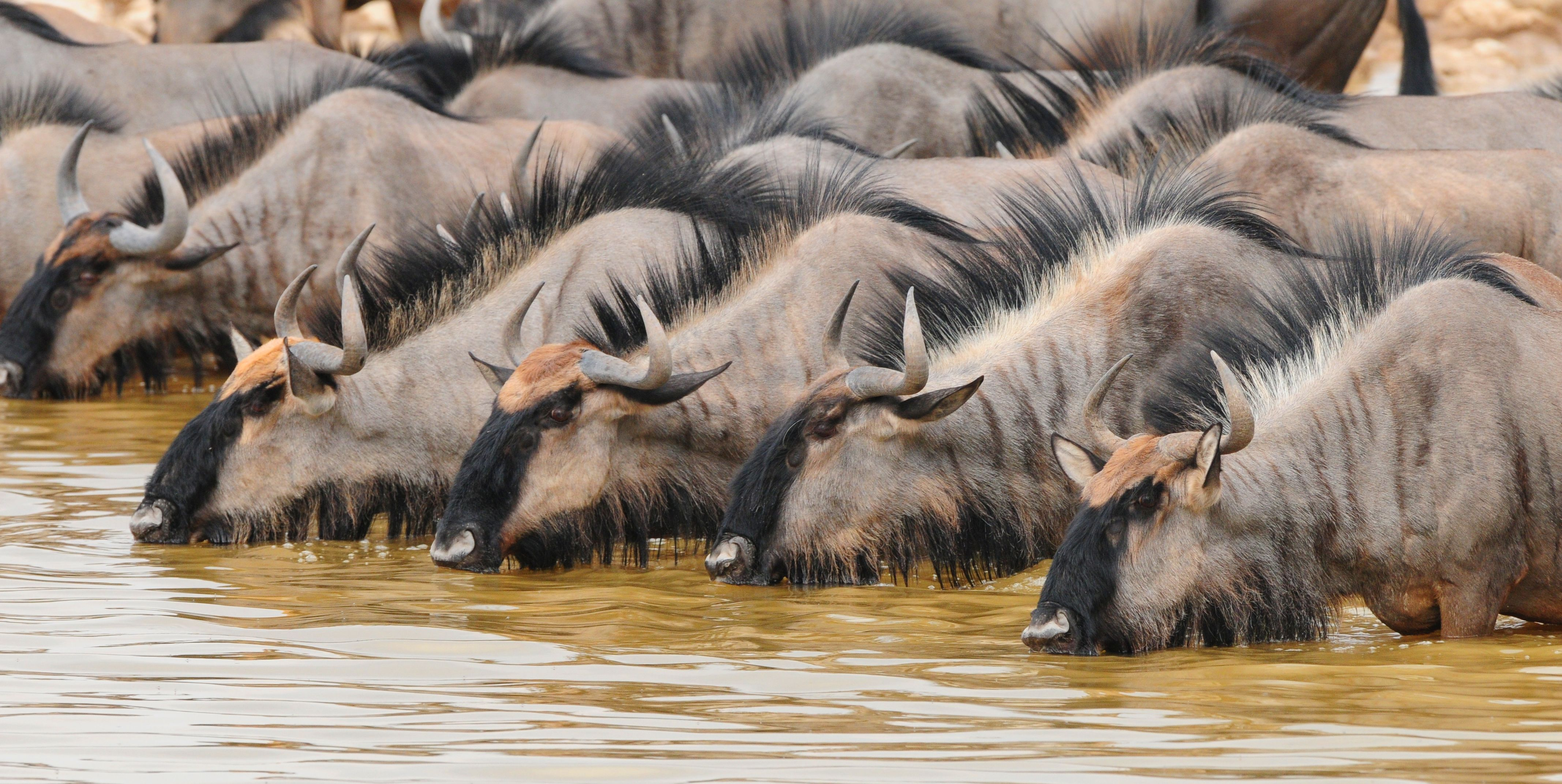 Drinking time for the wildebeest in Etosha