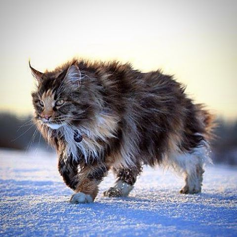 20 most popular long haired cat breeds norwegian forest cats