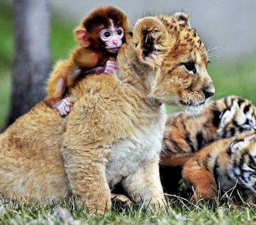 Monkey and Lion Cub