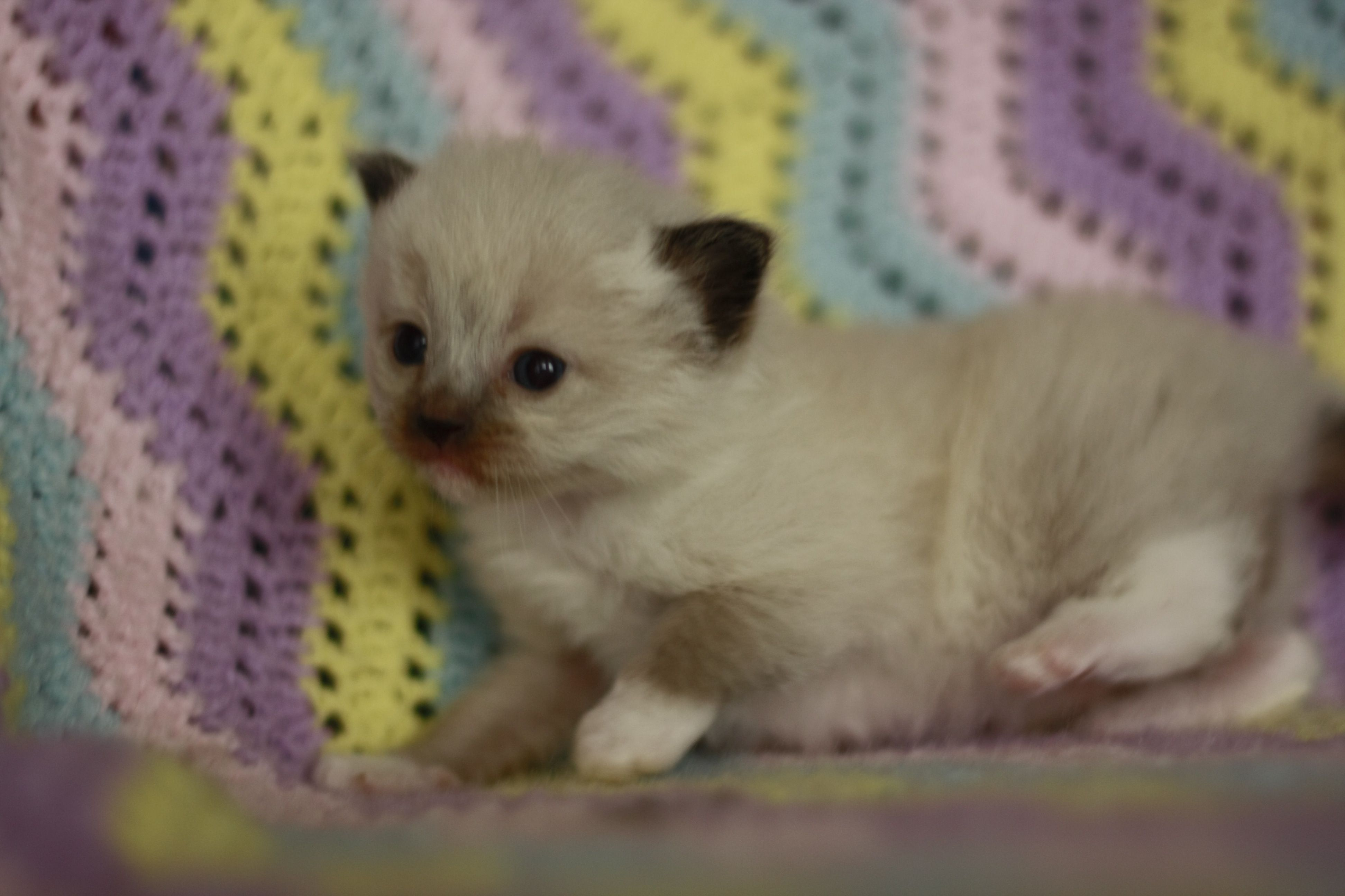 The Simple Guide To Caring For Four Week Old Kittens Live Long And Pawspurr In 2020 Newborn Kittens Kitten Care Cute Baby Cats