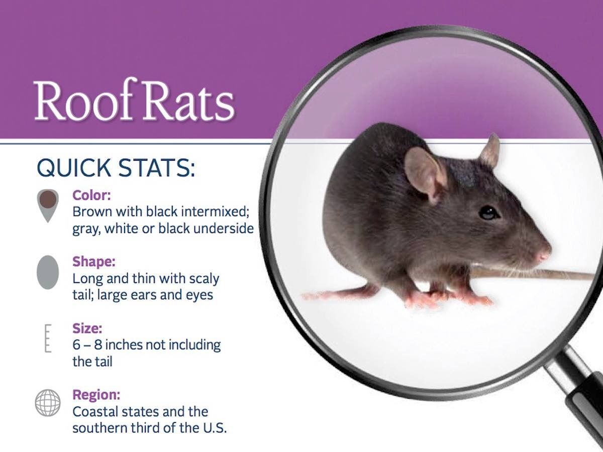 For More Information On The Roof Rat Call Us At 866 Pest 815 Or Email Us At Info Sanitechusa Com Rodentawarene Roof Rats Termite Control Getting Rid Of Rats