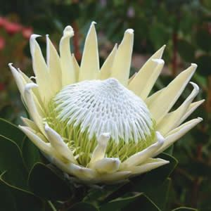 Snow Queen Protea Protea Is Both The Botanical Name And The English Common Name Of A Genus Of South African Protea Flower South African Flowers Rare Flowers