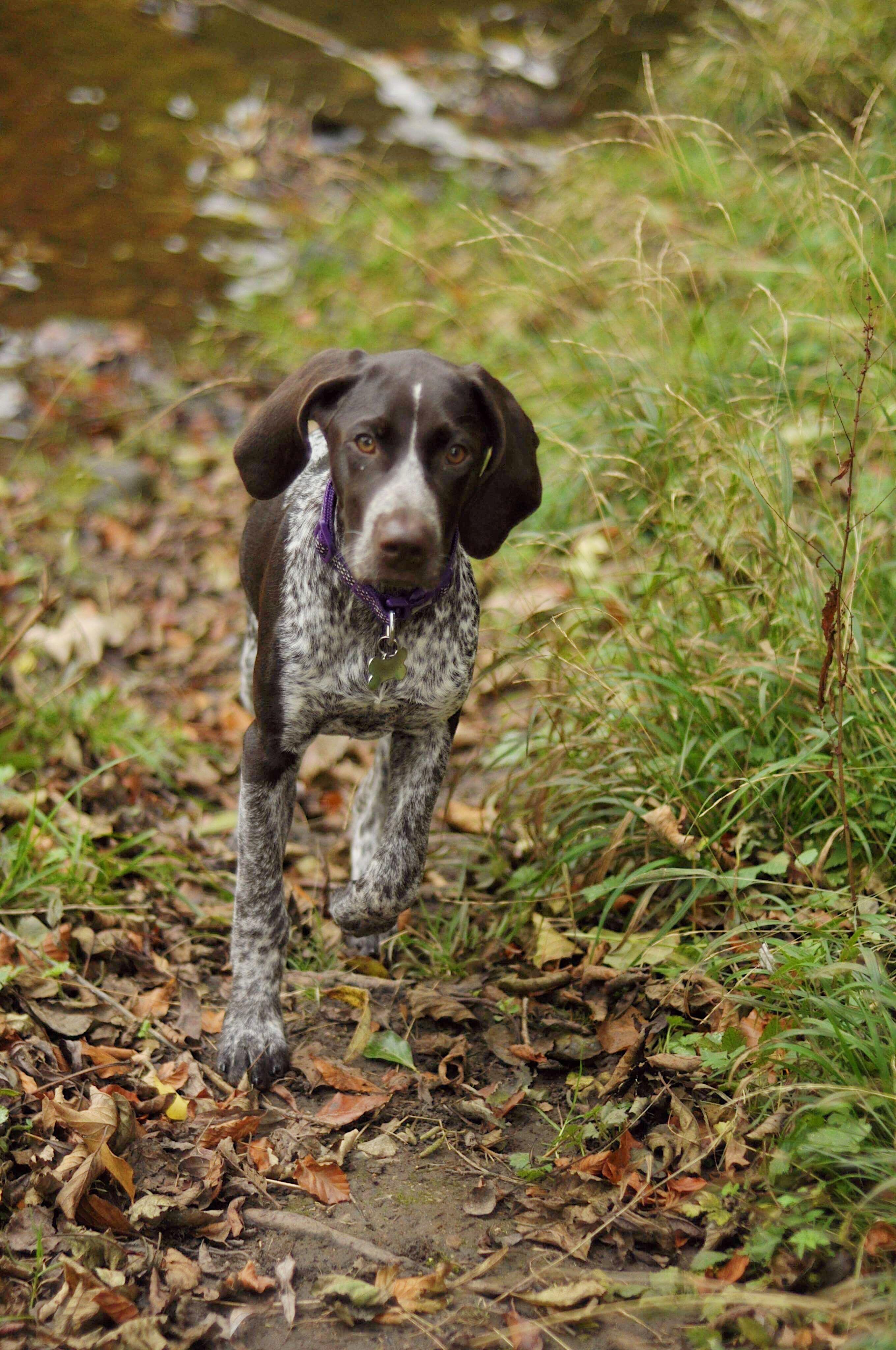 german shorthaired pointer puppies missouri - HD2720×4096