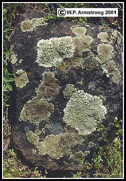 샌디에고 카운티, 캘리포니아의 샌 파스칼 밸리 반려암의 둥근 돌을 이끼가 덮인. 이끼 종은 흰색 (약간 흰 회색)를 포함 Xanthoparmelia의 cumberlandia , 황색 - 녹색 Lecanora의 muralis 과 검은 색 Verrucaria (아마도 V.의 viridula을 ). 또한 울에 빨간색의 작은 패치입니다 Caloplaca , 노란색 Candelariella , 회색 Aspicilia , 블랙 Buellia은