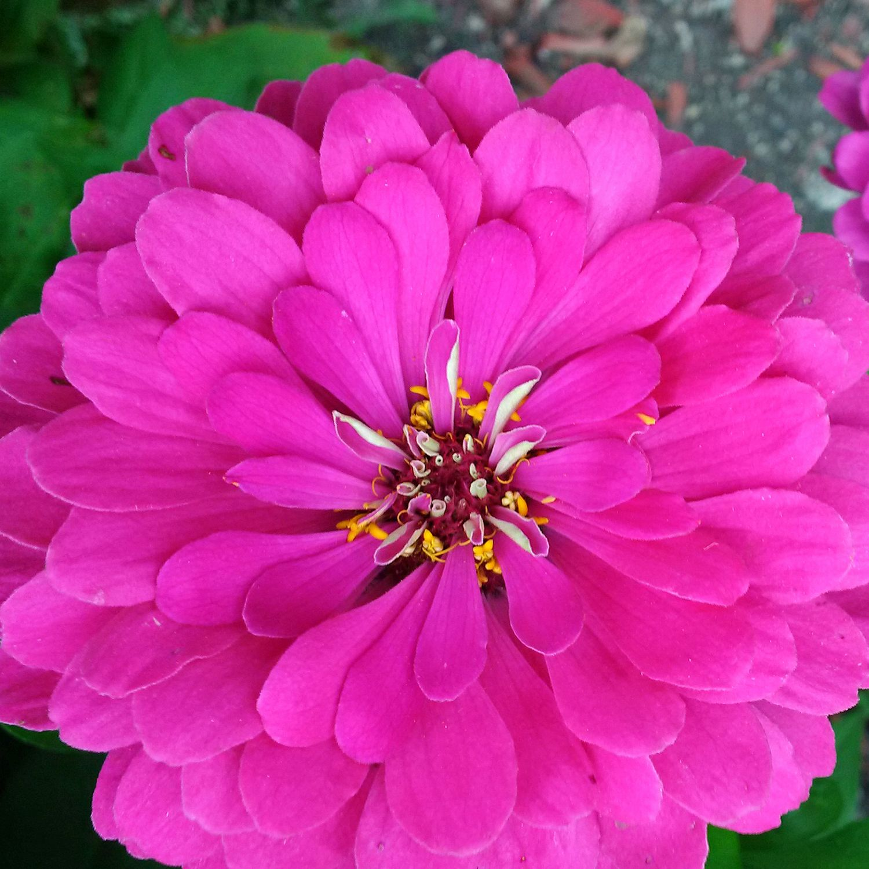 Carol S Garden: A Beautiful And Bright Zinnia From Carol's Garden In