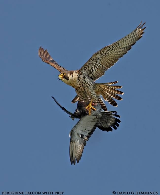 Peregrine Falcon with Prey by David Hemmings on 500px ...