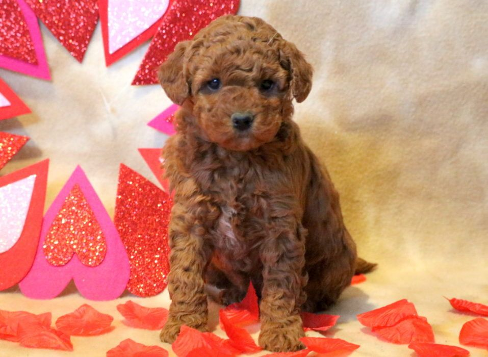 Teddy bear puppies for sale by me