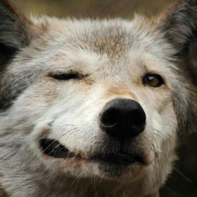 A Wink A Smile Funny Wolf Animals Animal Memes