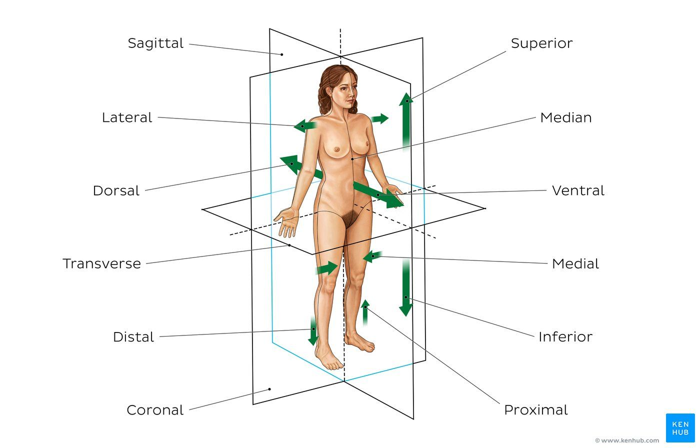 hight resolution of diagram pictures directional terms and body planes anatomy kenhub