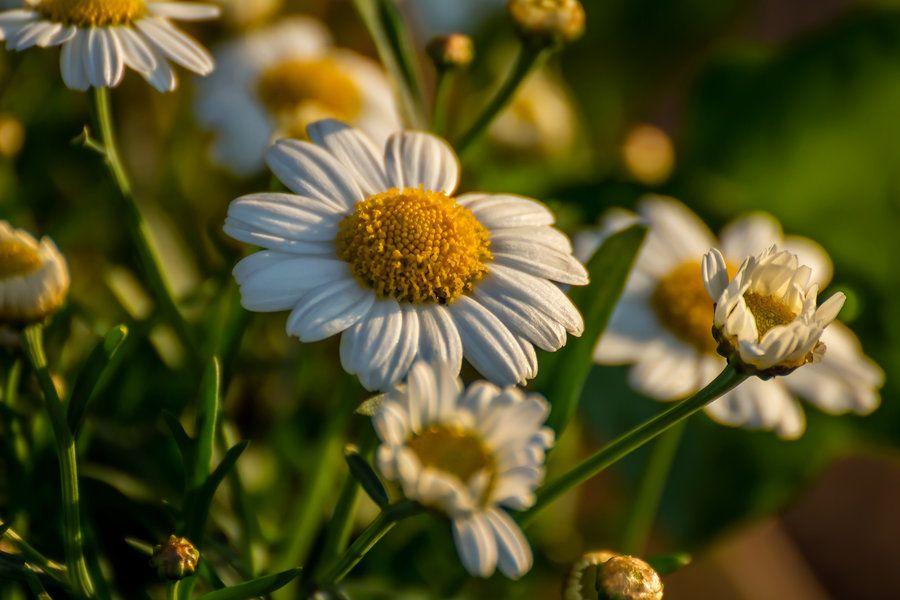 some garden daisies by okhascorpio