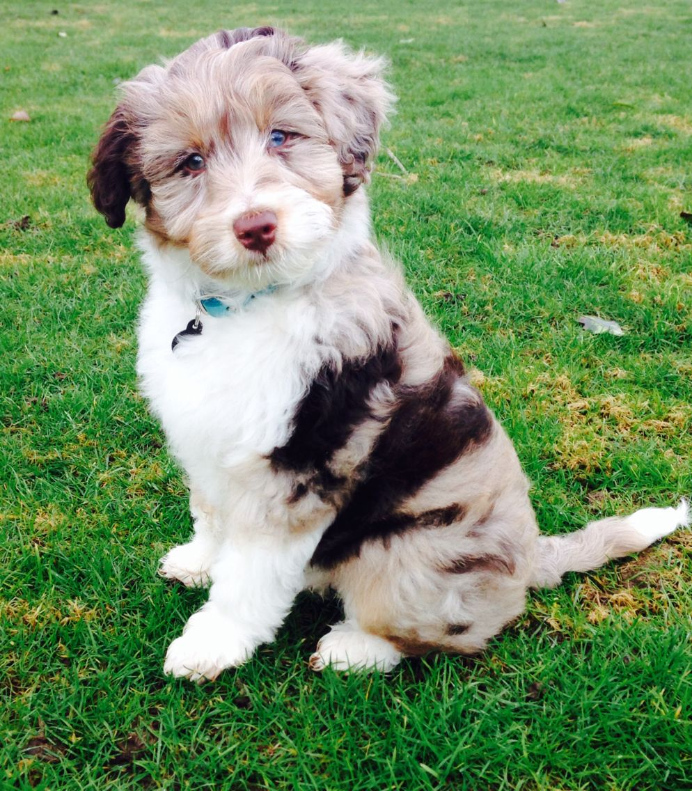 Mini Aussiedoodle Poodle Mix Breeds Dog Breeds Dog Mixes