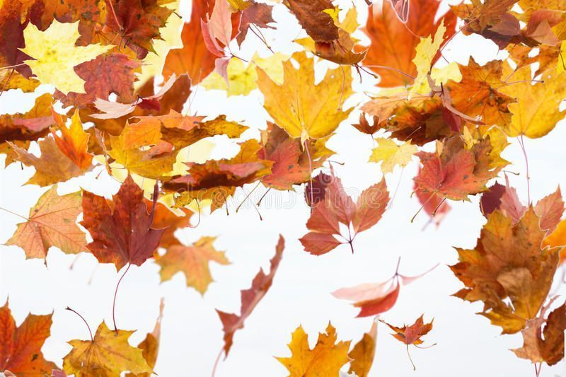 Autumn leaves are falling. Maple autumn falling leaves, isolated on white backgr , #affiliate, #falling, #Maple, #Autumn, #leaves, #white #ad #autumnleavesfalling Autumn leaves are falling. Maple autumn falling leaves, isolated on white backgr , #affiliate, #falling, #Maple, #Autumn, #leaves, #white #ad #autumnleavesfalling Autumn leaves are falling. Maple autumn falling leaves, isolated on white backgr , #affiliate, #falling, #Maple, #Autumn, #leaves, #white #ad #autumnleavesfalling Autumn leav #autumnleavesfalling