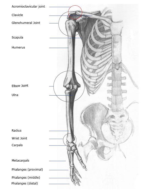 Arm And Shoulder Skeletal Skeleton Art Tutorials In 2018