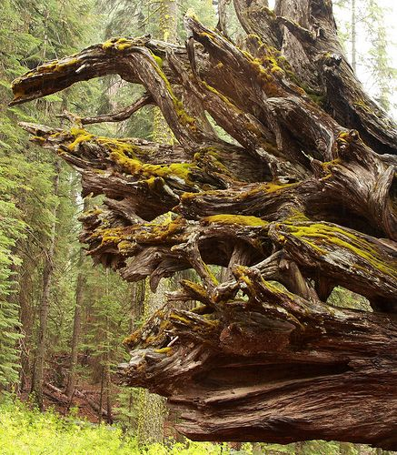 Side view of the roots of a fallen Sequoia | by Alaskan Dude