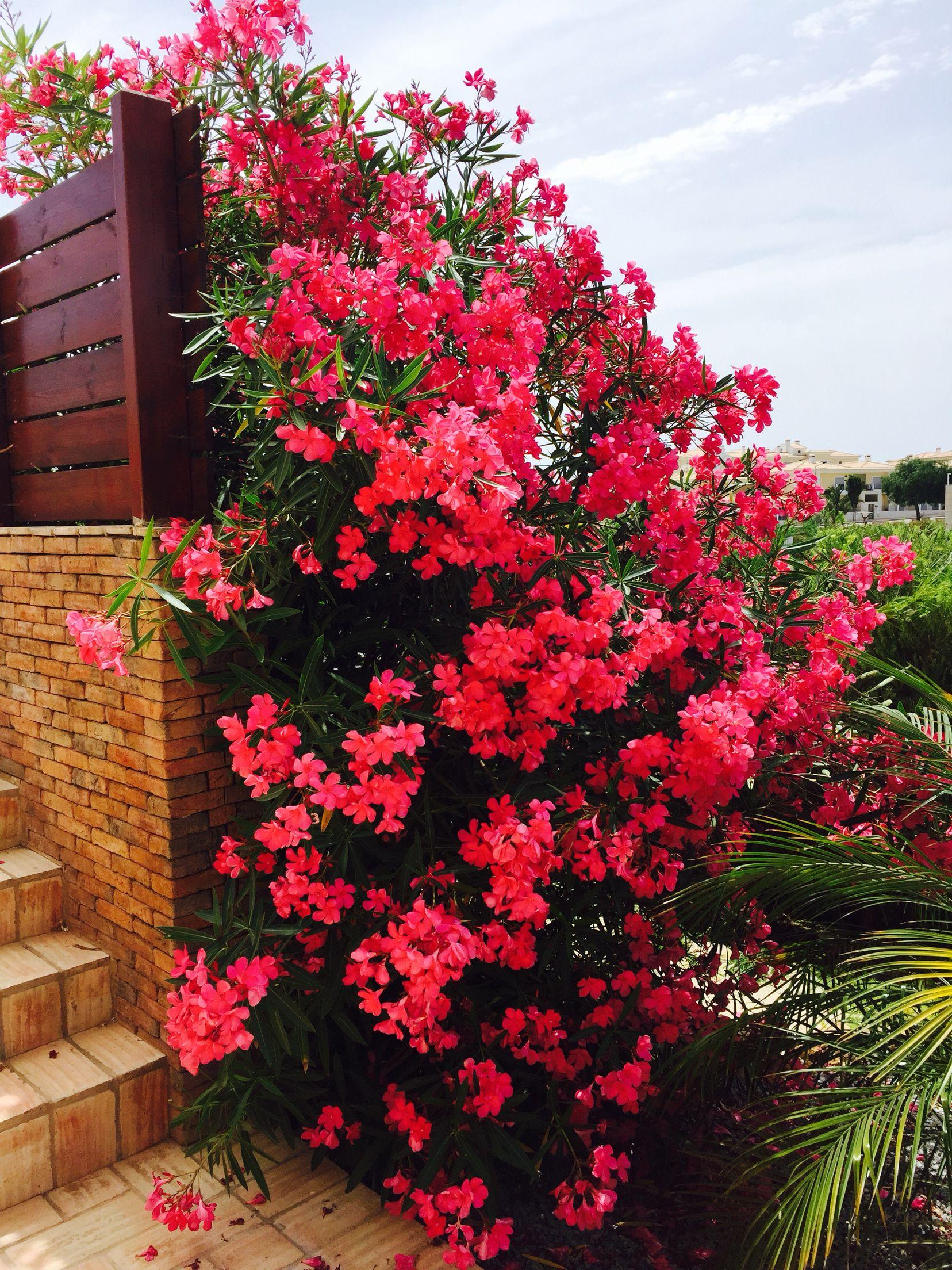 beautiful oleander bush