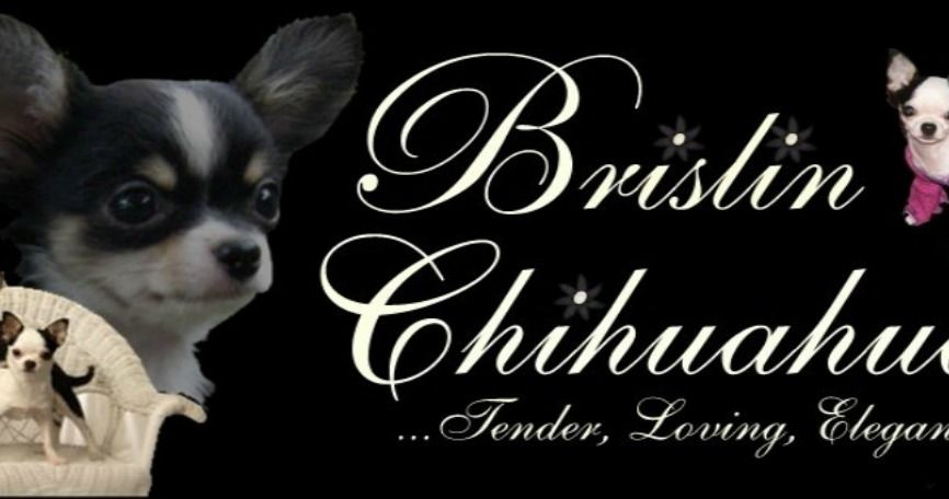 Available Adults Chihuahua Breeds Chihuahua Chihuahua Breeders