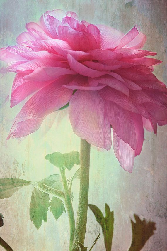❀ ✿ ❁ ✾ ✽ ❃ ❋ pink ranunculus the companion... beautiful vintage botanical style flower garden photograph from Leaping Gazelle Studios
