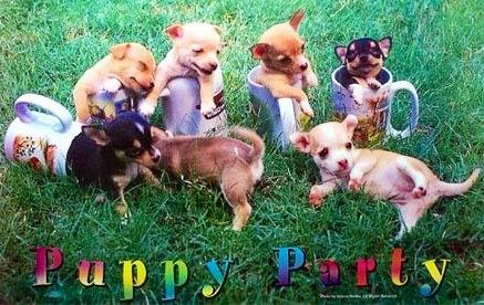 Chihuahuas Puppy Party Image Via Www Facebook Com
