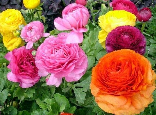 Persian Buttercup Ramumculus Flower Seeds Mix Color 20 Seeds Flower Seed Gifts Flower Seeds Flower Garden Plants