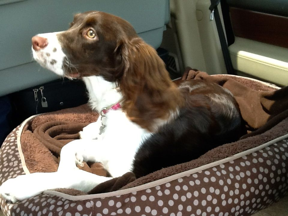Springer Spaniel Bailey Belle Car Ride Time Springer Spaniel Spaniel Springer Spaniel Puppies