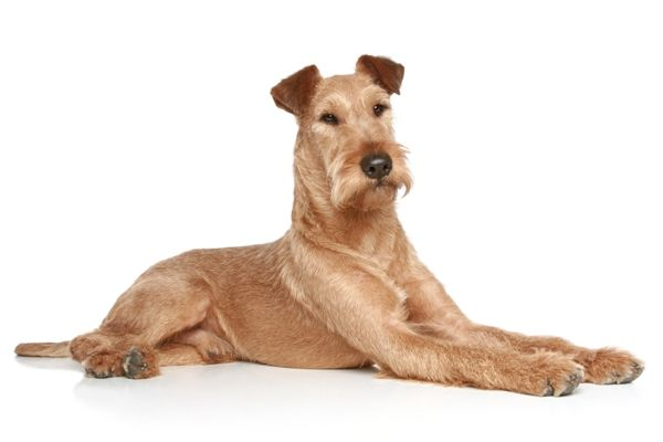Irish Terrier Dog Breed Information Pictures Irish Terrier Terrier Dog Breeds Dog Breeds