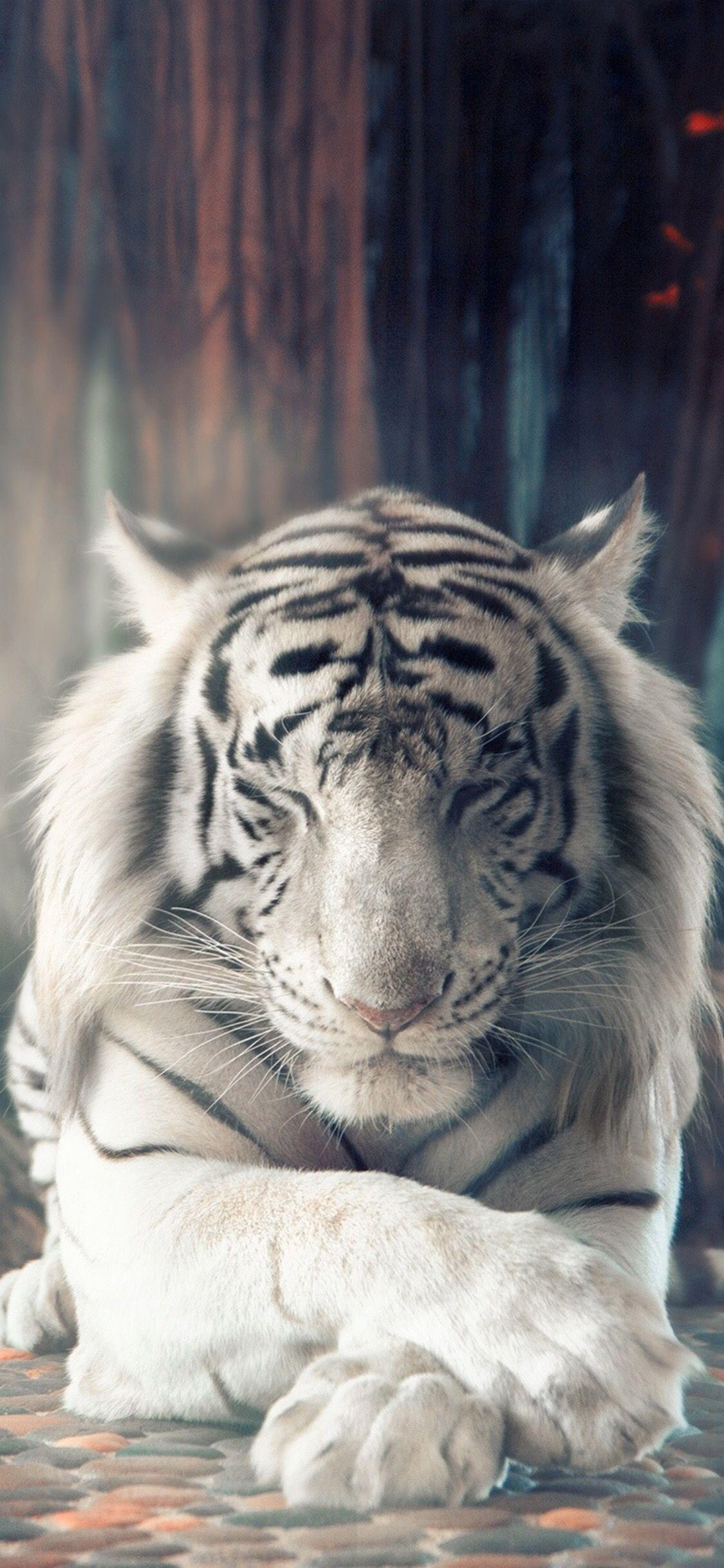 Tiger In 2020 Animals Tigre Tiger